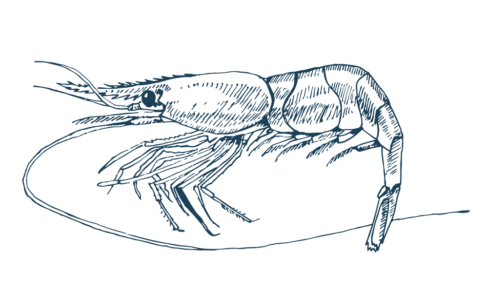 Cold Water Prawn, Maris Seafoods Ltd